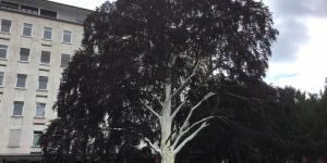 """Blutbuche in """"Linnenbrinks Garten"""": Weiße Farbe schützt vor Sonnenbrand"""
