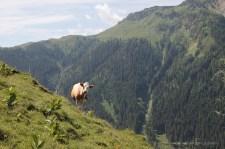 Kammerlingalm mit Kuh