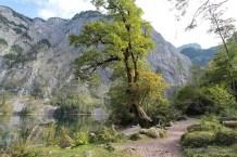 Bergahorn am Obersee