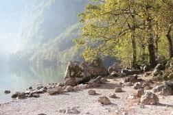 Ufer des Obersees mit Bergahorn