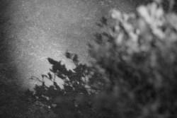 Schattenspiel eines Heidelbeerstrauches