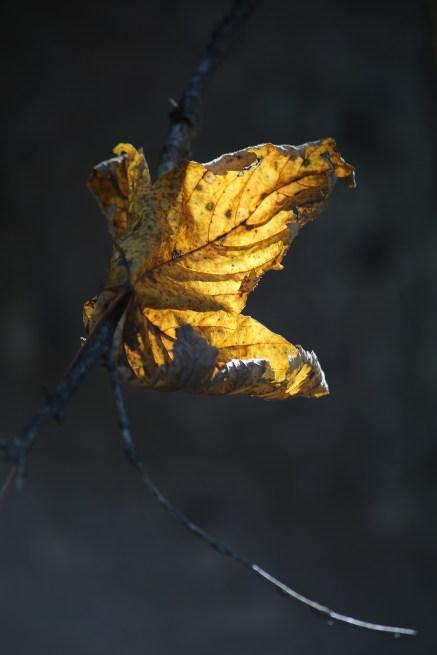 Bergahornblatt im Gegenlicht