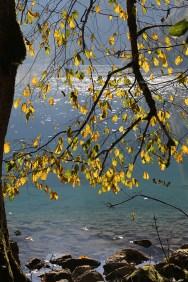 Das gelbe Laub einer Ulme vor dem Obersee