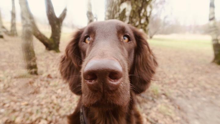 berikning hund