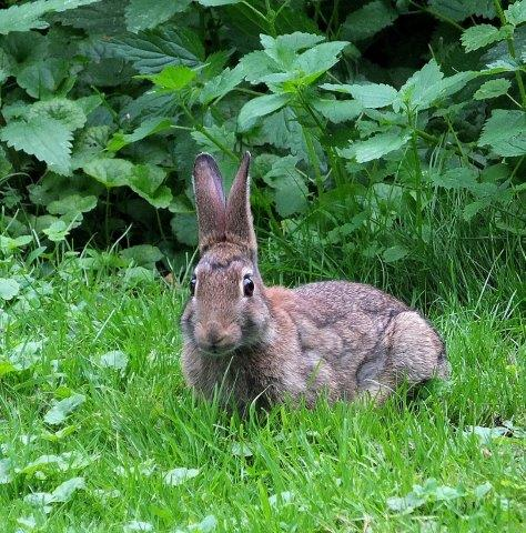 Hase auf Hochschulgelände: Was mögen diese Löffel hören — das Gras wachsen? (Foto © -jübu-)