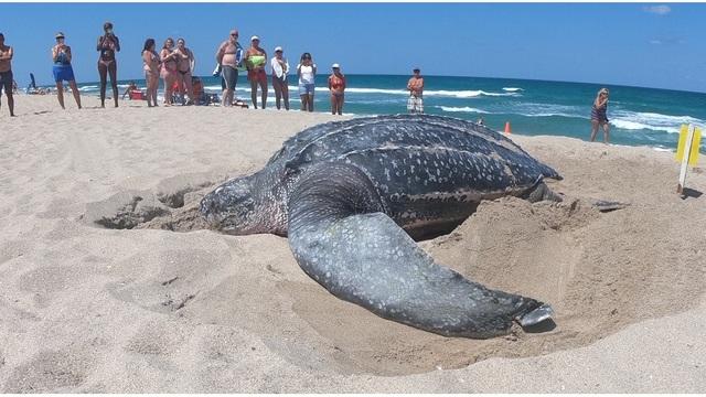 sea turtle_1558623310425.jpg_88727483_ver1.0_640_360_1558627707636.jpg.jpg