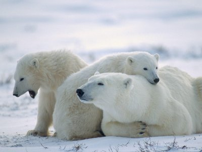 Foto osos polares