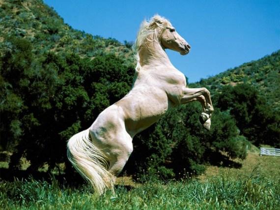 Fotografia caballo blanco alzado en dos patas