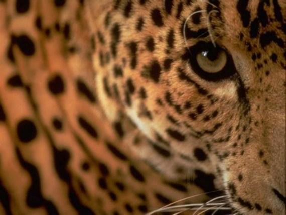 Fotografia leopardo