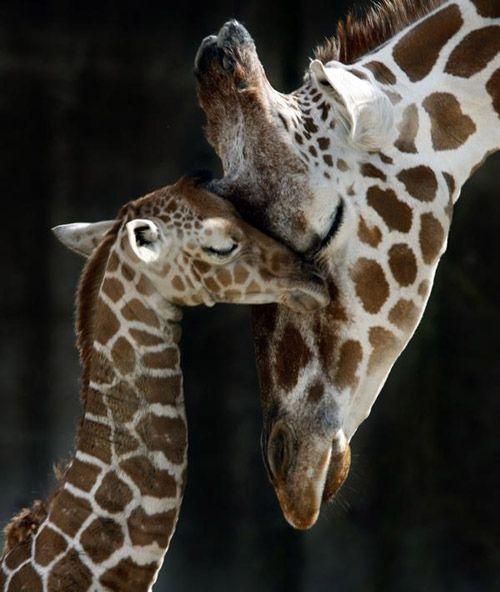 Imagen tierna de girafas
