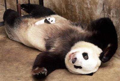 Imagen osa panda con su pequeño bebe