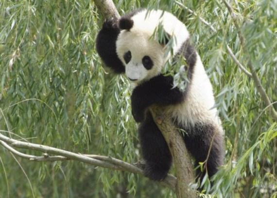 Imagen oso panda trepado en un arbol