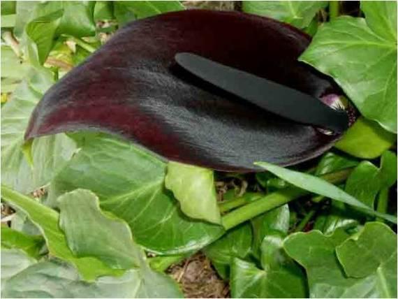 Imagen rara flor negra - imajenes