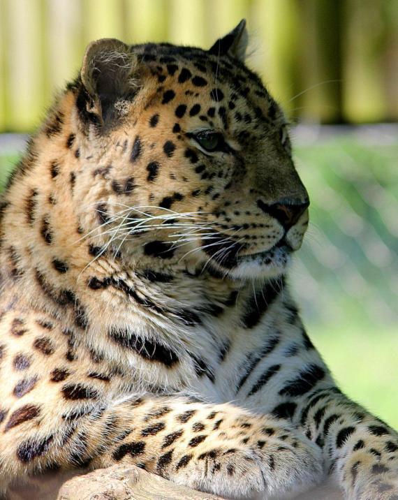 Imagenes de grandes felinos