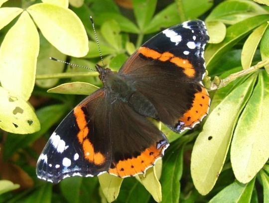 imagenes de mariposas negras y naranjas