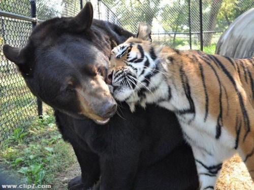 foto de oso y tigre
