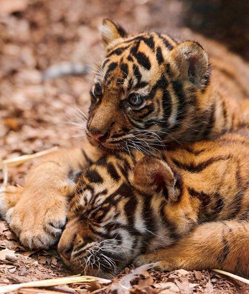 Fotografía de dos cachorros de tigre