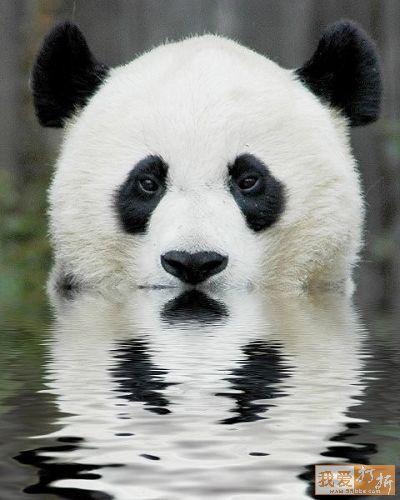 _160114-foto-oso-bebe-panda-pardos-bebes-k74763-rojo-imagen-osito ...