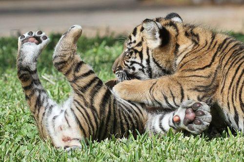 Foto de cachorros de tigre jugando