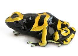 Rana de originales tonos negros y amarillos