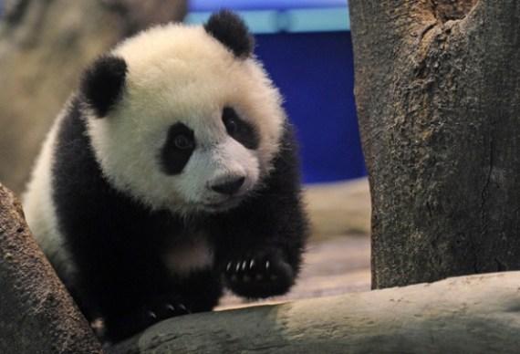 Imagen tierna de osito panda