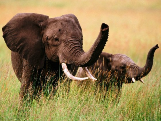 Fotografia de elefantes