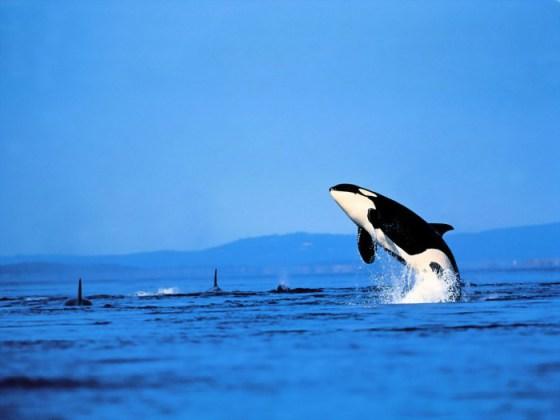 Fondos de Pantalla Orcas