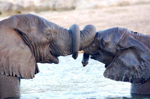 imajen de elefantes con las trompas entrelazadas