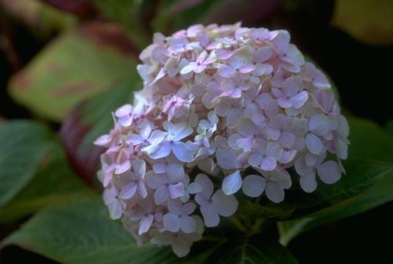 Imagenes de Flores: hortensias
