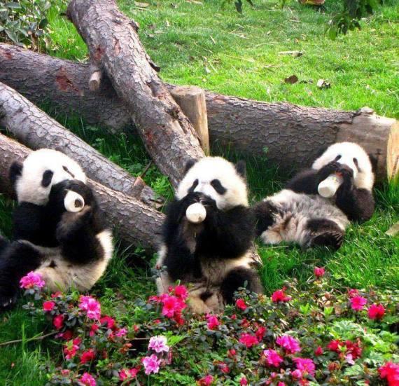 Imagenes tiernas de osos panda tomando biberon