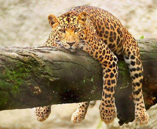 Fotografia de jaguar muy relajado