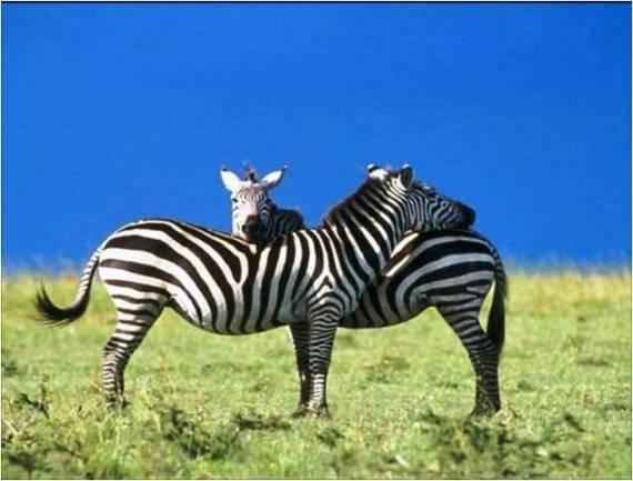 imagenes tiernas zebras