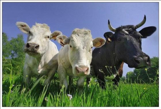 fotografias de vacas