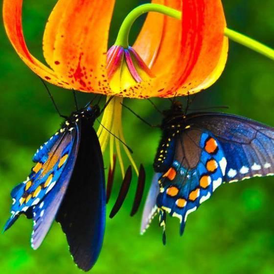 Fotografia hermosas mariposas azul y anaranjado en una flor
