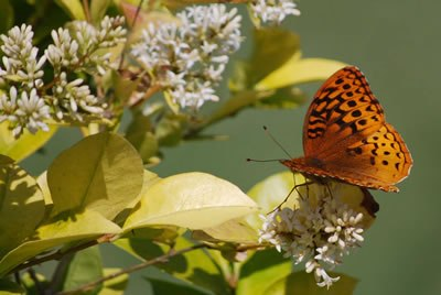 fotografia de mariposa anaranjada
