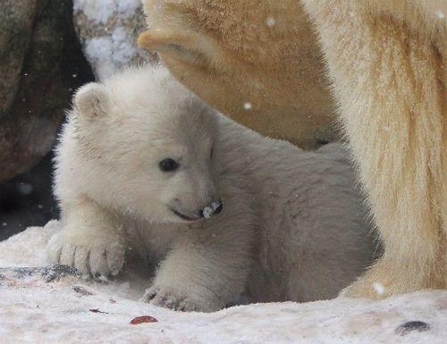 fotografia osito polar bebe