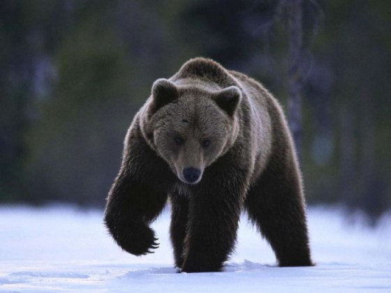 foto de oso cafe en la nieve