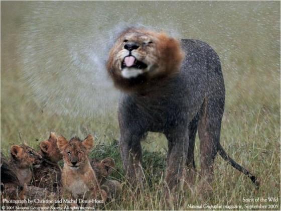 Imágenes de Felinos: Leon sacudiendose el agua