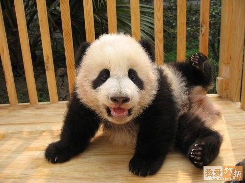 imagenes de ositos panda bebes