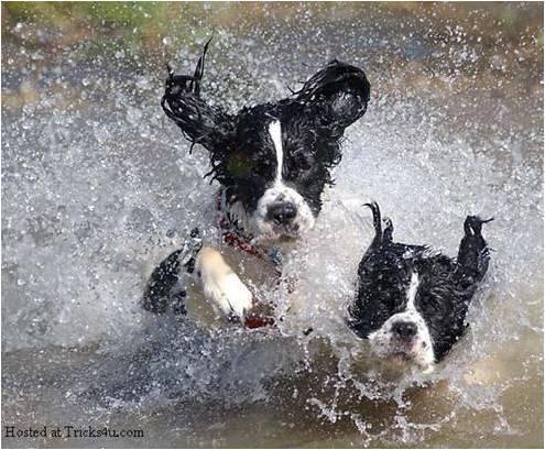 Imagen de perros corriendo en el agua