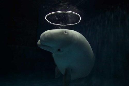Hermosa imagen de delfin blanco