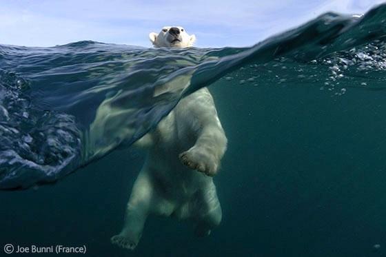 imagenes de osos polares nadando en el mar