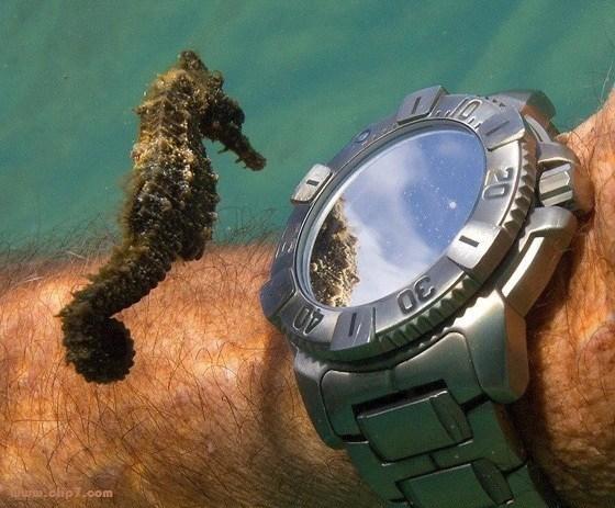 Curiosa imagen de caballo de mar viendo un reloj