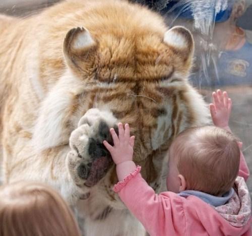 Imagen tierna de tigre y bebe