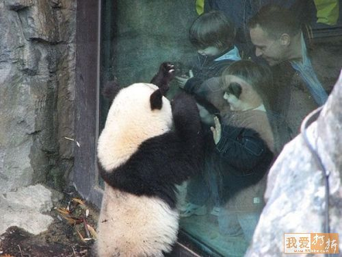 imajenes de osos panda divertidas