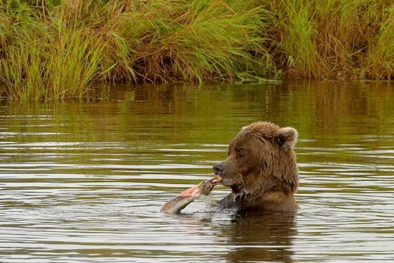 imagenesde  osos grizzly