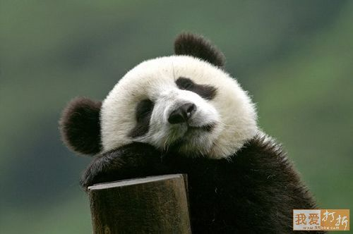 fotografia de oso panda dormilon