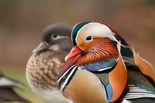 imagen Foto de pato colorido