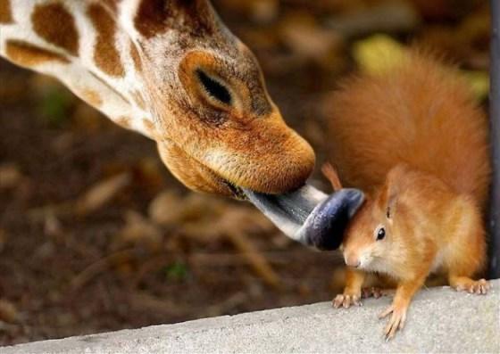 tierna imagen de ardilla y jirafa