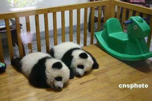 Fotografia de ositos panda en guarderia